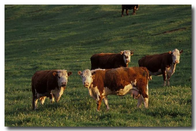 (RB-917) Cattle on pasture