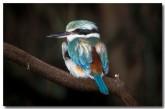 red-backed-kingfisher-ya-447-copy