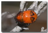 red-bug-nymph-holland-track-aad-515-web-copy