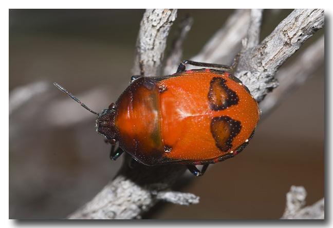 Ground Jewel Bug