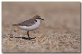 red-capped-dotterel-yg-001-copy