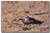 red-capped-dotterel-yg-234-copy