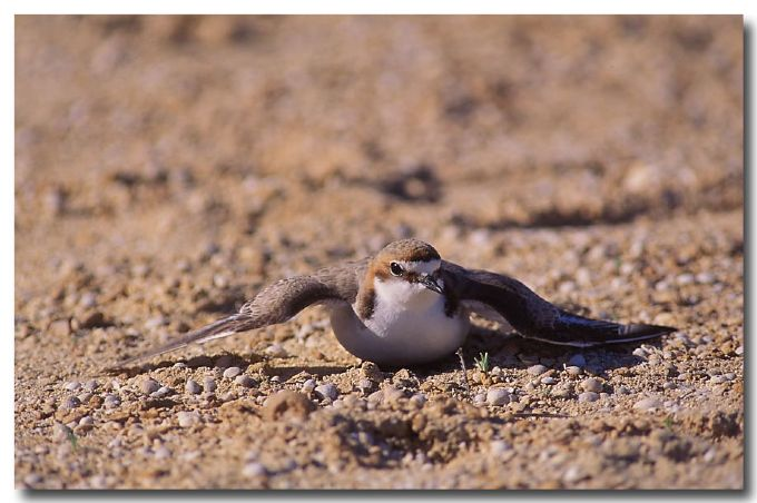Red-capped Dotterel