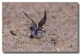 red-capped-plover-yg-227-copy