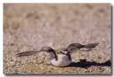 red-capped-plover-yg-229