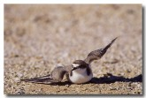 red-capped-plover-yg-230
