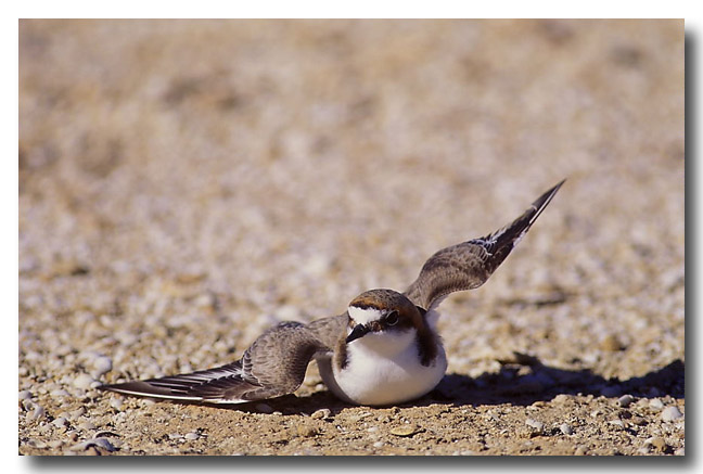 (YG-230) Red-capped Dotterel