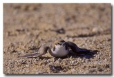 red-capped-plover-yg-233