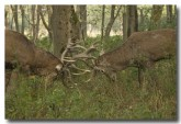 red-deer-lld-832-copy