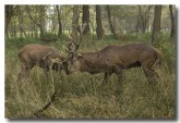 red-deer-lld-833-copy