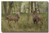 red-deer-lld-834-copy