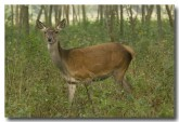 red-deer-lld-838-copy