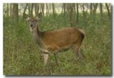 red-deer-lld-838-copy
