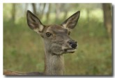 red-deer-lld-847-copy