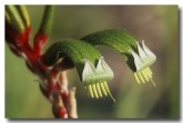 red-green-kangaroo-paw-ae-119-copy(1)