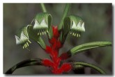 red-green-kangaroo-paw-br-658-copy