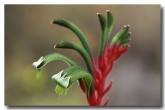 red-green-kangaroo-paw-xd-045-copy