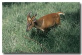 red-muntjac-qe-180-web-copy
