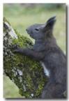 red-squirrel-lld-888-copy