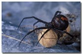 redback-spider-xg-782-copy
