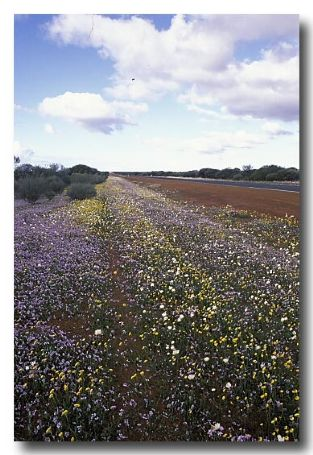 (AC-375) Road verge with flowering annuals