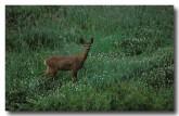 roe-deer-xa-316-copy