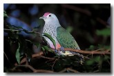 rose-crowned-fruit-dove-hg-652-copy