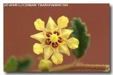 rulingia-luteiflora-golden-rulingia-zp-690-copy
