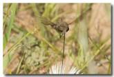 sa-nemestrinidae-sp-proboscus-llj-229-web-copy