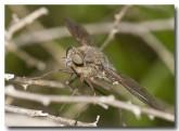 sa-nemestrinidae-sp-proboscus-llj-230-web-copy