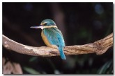 sacred-kingfisher-hb-248-copy