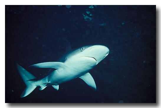Sandbar or Thick Skin Shark