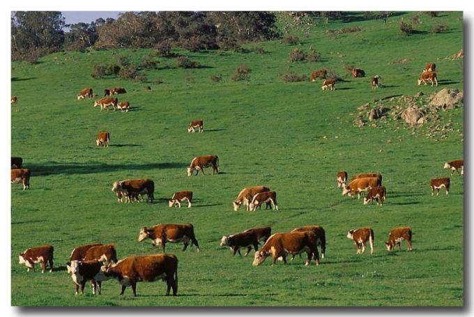 (SE-974) Cattle on pasture