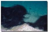 shark-feeding-frenzy-cb-346-copy