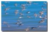 shore-birds-pa-302-web-copy