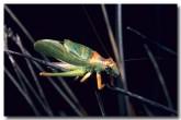 small-balloon-winged-datydid-ll-671