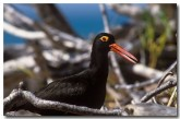 sooty-oystercatcher-lm-401-copy
