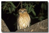 southern-boobook-owl-lm-849-web-copy