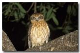southern-boobook-owl-lm-849-web-copy