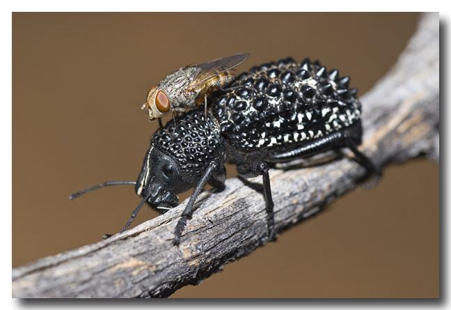 Sphaerocerid Fly