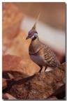 spinifex-pigeon-pc-155-copy