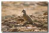 spinifex-pigeon-red-bellied-llg-867-web-copy