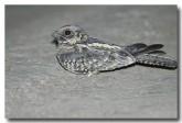 spotted-nightjar-llh-387-web-copy