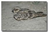 spotted-nightjar-llh-388-web-copy