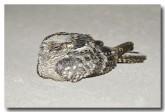 spotted-nightjar-llh-389-web-copy
