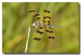spotted-winged-dragonfly-llh-452-web-copy