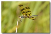 spotted-winged-dragonfly-llh-453-web-copy