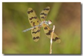 spotted-winged-dragonfly-llh-455-web-copy