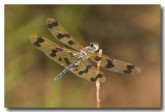 spotted-winged-dragonfly-llh-458-web-copy