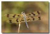 spotted-winged-dragonfly-llh-459-web-copy